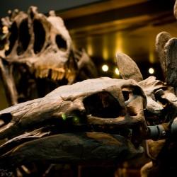 Stegosaur Vs. Allosaurus